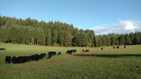 Cows grazing on green Fall Pastures