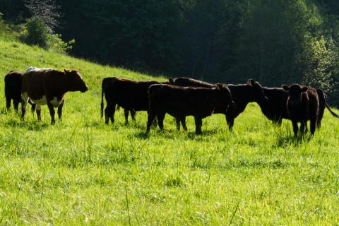 Cows on Spring Pasture